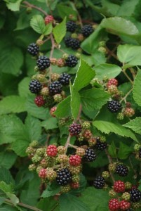 Cover photo for Extension Gardener Small Fruits Chapter Just Released